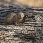 Kleiner Mungo (Herpestes javanicus)