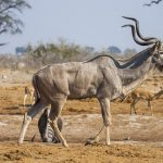 Großer Kudu (ragelaphus strepsiceros)