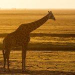 Thornicroft-Giraffenkuh (Giraffa)
