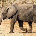 Elefant (Elephantidae) Kasane Forest Reserve, Botswana