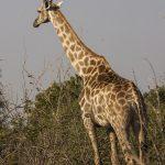 Thornicroft-Giraffenkühe (Giraffa)