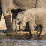 Elefanten (Elephantidae) Kasane Forest Reserve, Botswana