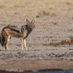 Schabrackenschakal (Canis mesomelas)