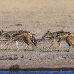 Schabrackenschakale (Canis mesomelas)