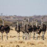 Afrikanische Strauße (Struthio camelus)