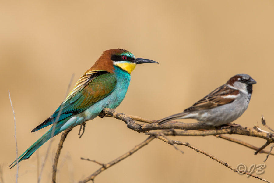 Finkenvögel Focus On Nature