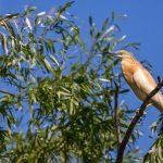 Rallenreiher (Ardeola ralloides)