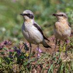 Steinschmätzer (Oenanthe oenanthe) Männchen und Weibchen
