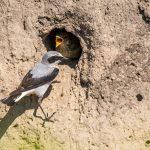 Steinschmätzer (Oenanthe oenanthe) Männchen füttert an der Höhle