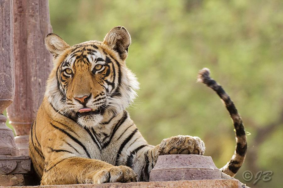 Tiger (Panthera tigris tigris)