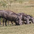 Warzenschweine ( Phacochoerus africanus)