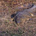 Echtes Krokodil (Crocodylidae)