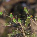 Erdbeerköpfchen (Agapornis lilianae)