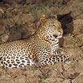 Leopard (Panthera pardus) juvenil
