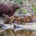 Capybara (Hydrochoerus hydrochaeris) Wasserschwein