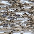Sanderlinge (Calidris alba)