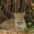 Wilder Jaguar im Pantanal (Panthera onca)