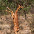 Südliche Giraffengazelle (Litocranius walleri), Gerenuk-Antilope