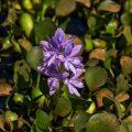 Dickstielige Wasserhyazinthe (Eichhornia crassipes)