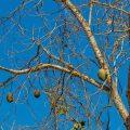 Wilde Pappaya ( Jacaratia spinosa)