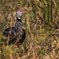 Halsband-Wehrvogel (Chauna torquata)