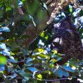 Virginia-Uhu (Bubo virginianus)