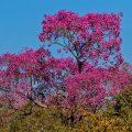 Rosa Trompetenbaum, Roter Lapacho, (Tabebuia impetiginosa)