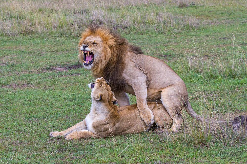 Löwe (Panthera leo) Paarung