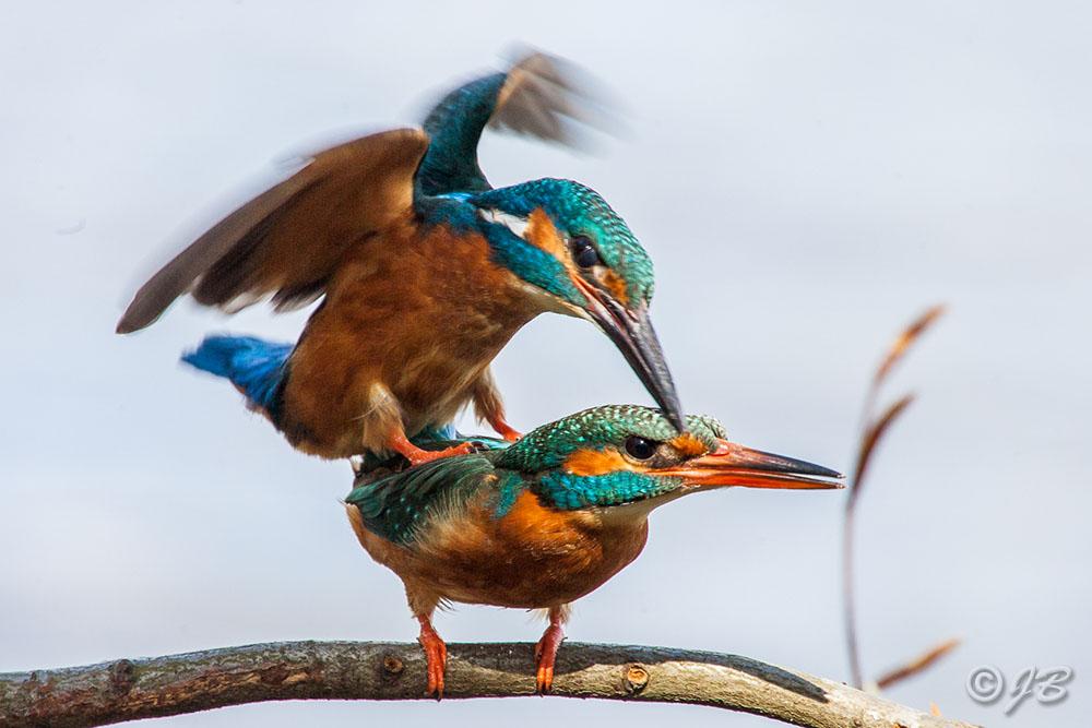 Eisvogel (Alcedo atthis) Paarung