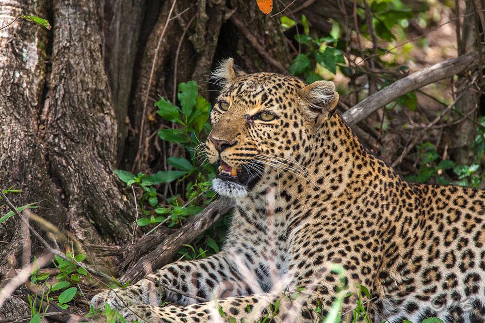 Leopardin  (Panthera pardus)