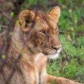Löwin (Panthera leo)