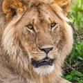 Löwenporträt (Panthera leo)