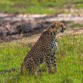 Gepard (Panthera pardus)