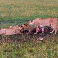 Löwenrudel bei der Mahlzeit (Panthera leo)