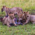 Löwenmahlzeit (Panthera leo)