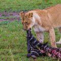 Letzter Bissen (Panthera leo)