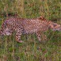Gepardin (Panthera pardus)