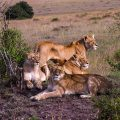 Löwenfamilie (Panthera leo)