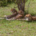 Geparden (Panthera pardus)