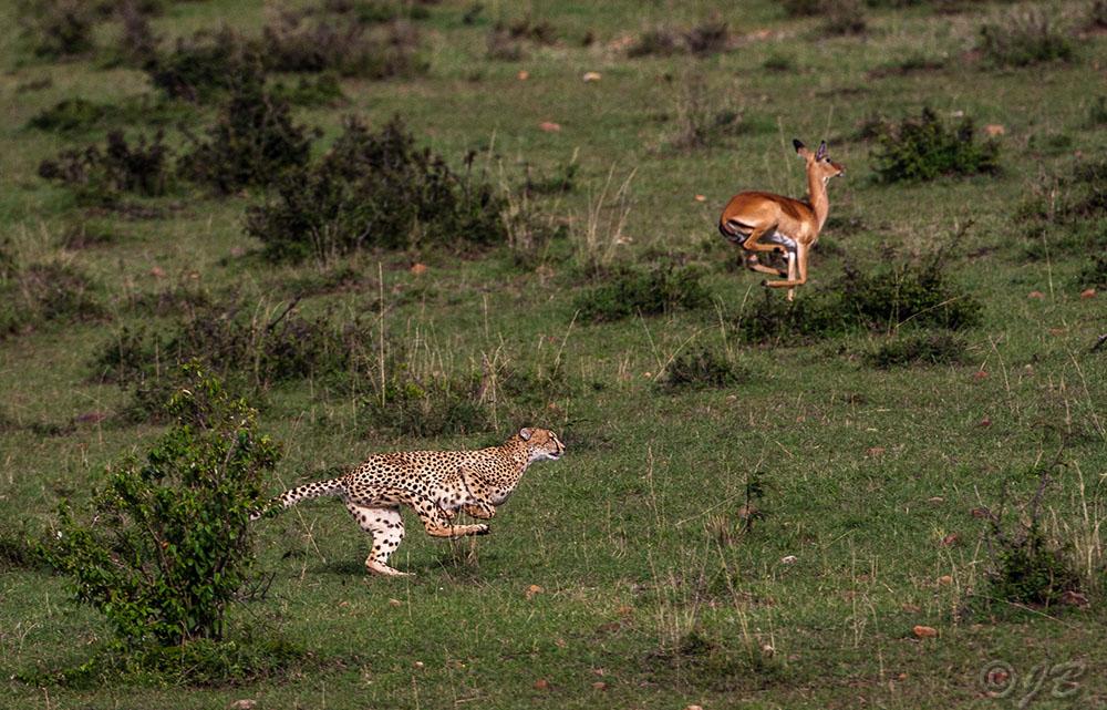 Gepard (Panthera pardus) auf der Jagd