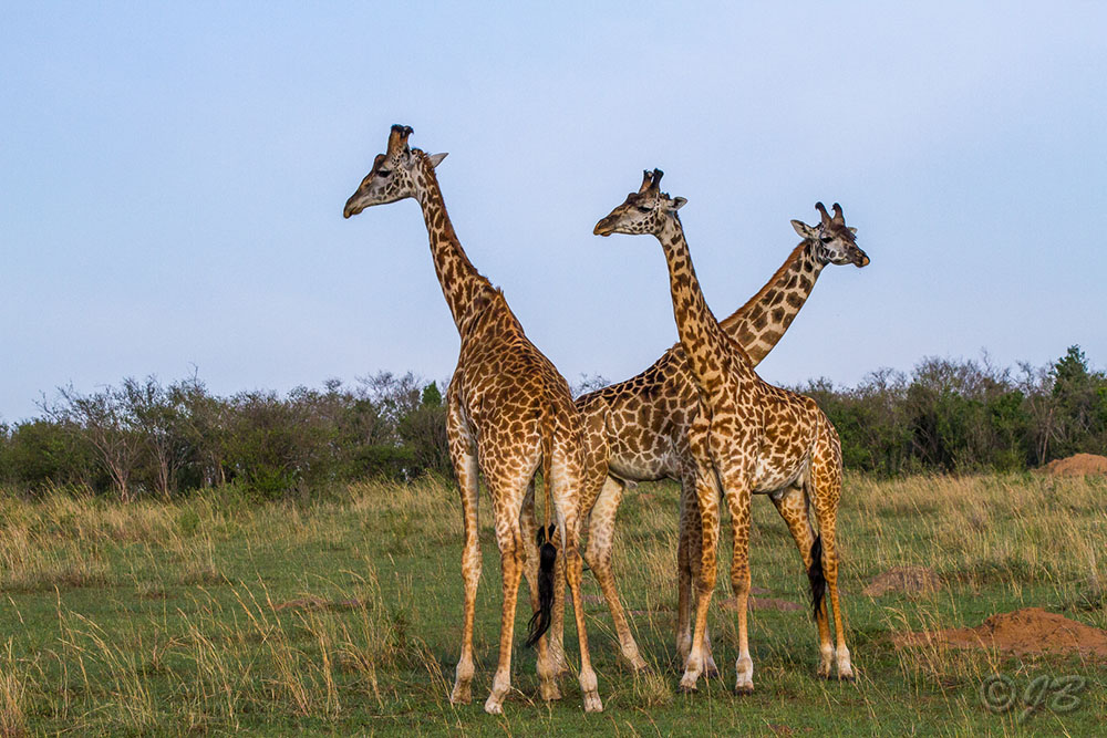 Massai-Giraffenkühe (Giraffa)