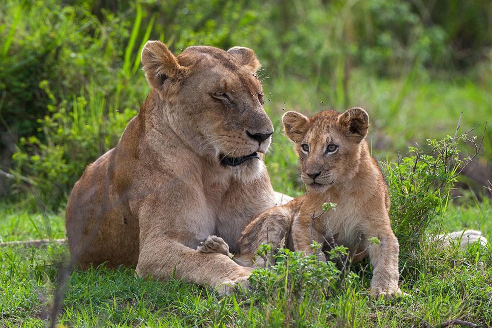 Löwin (Panthera leo) Mutterliebe