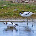 Säbelschnäbler (Recurvirostra avosetta)