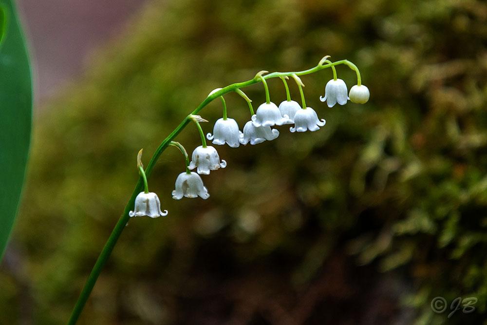 Schneeglöckchen (Galanthus nivalis),