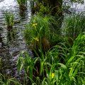 Sumpfschwertlilien Insel Rügen