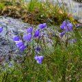 Glockenblumen in Hjeliskjaeret auf den Lofoten
