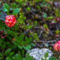 Moltebeere (Rubus chamaemorus)