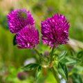 Wiesen-Klee oder Rotklee (Trifolium pratense)