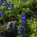 Alaskalupinen