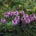 Flora auf der St.-Paul-Insel